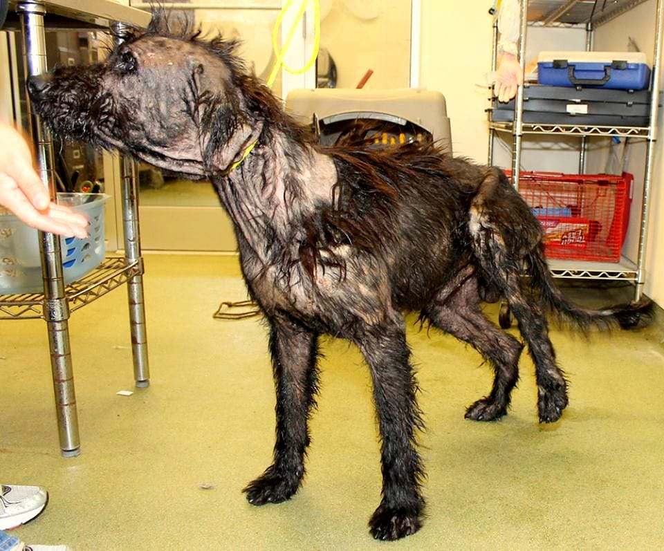 Mangy Motor Oil Coated Dog Rescued Recovering
