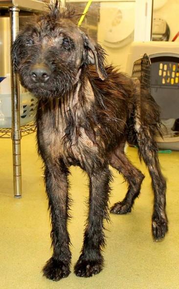8.21.14 - Motor Oil Dog Rescued2