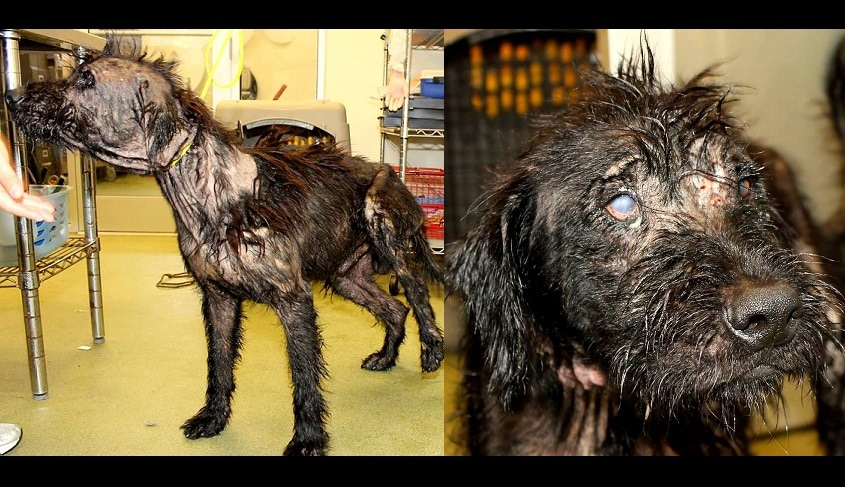 Mangy, Motor Oil-Coated Dog Rescued & Recovering