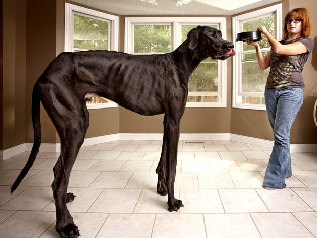 Biggest Cat In The World Guinness 2015 15 amazing world record-holding dogs