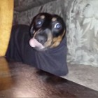 Silly Dachshund gets stuck in Shirt Sleeve
