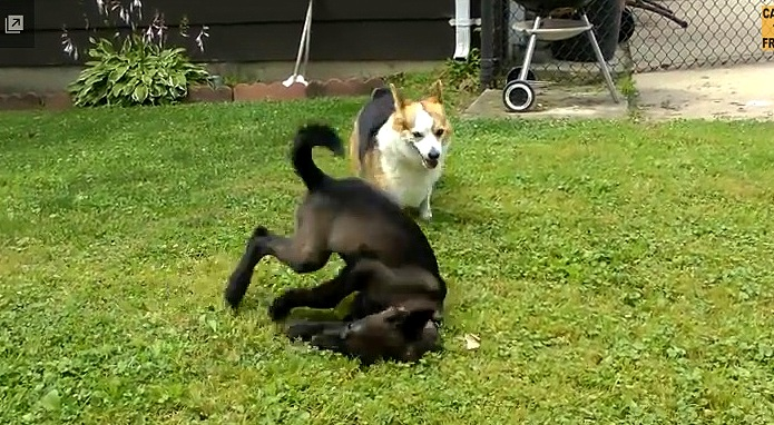 Confused Corgi Meets Somersaulting Wolfdog Pup