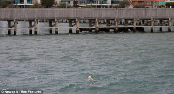 8.4.14 - Australian man Dives Off pier to Save Drowning dog During Grandmother1
