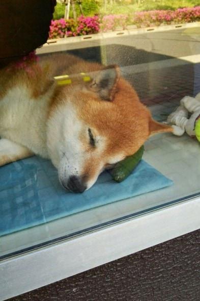 8.4.14 - Dog Helps Owners run Corner Store in Japan3