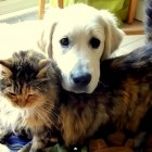 Maine Coon Loves Her Golden Retriever