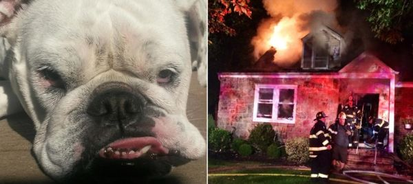 English bulldog Saves Sleeping Long Island Family from Blaze