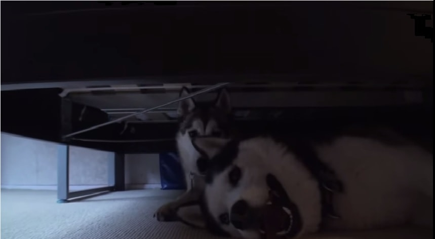 Snow and Wolfie are Two Talkative Huskies
