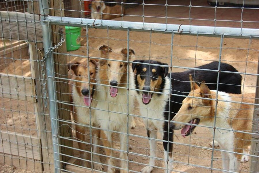 Collie Rescue Group Takes in Nearly 100 Seized Dogs