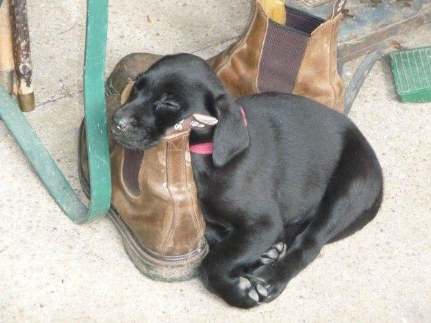 Dog Falling Asleep Video