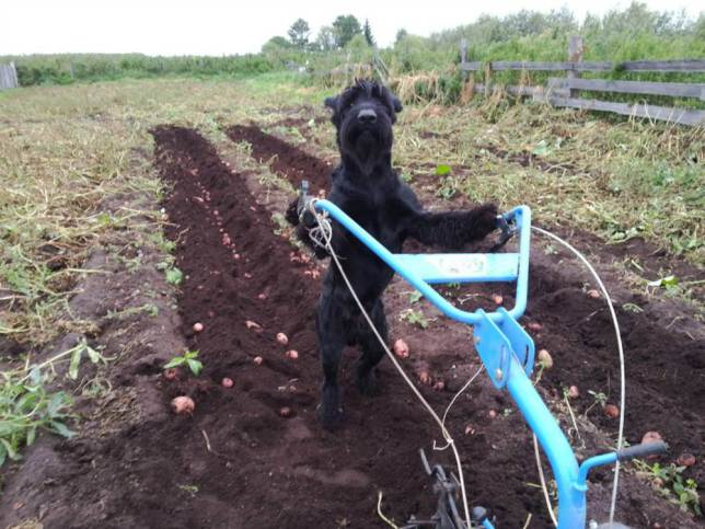 Meet Lemon, the Farming Dog