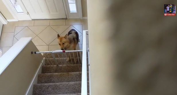 Smart Dog Opens Gate