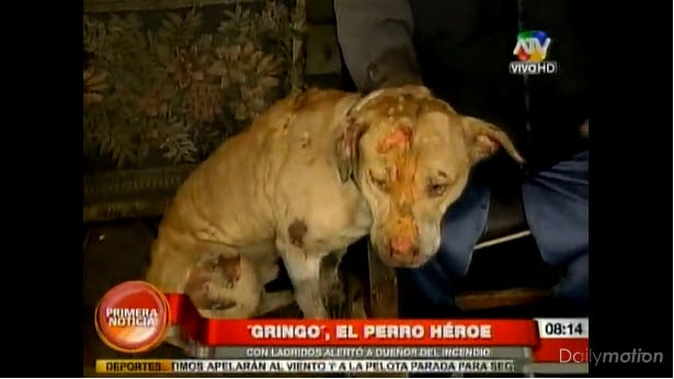 Pit Bull Saves Many Lives in Devastating Fire