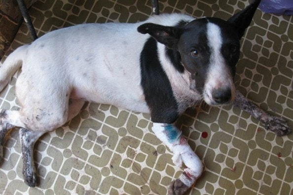 Can a Three-Legged Dog Survive Life on the Streets?