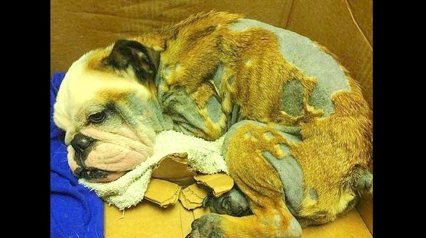 Unconscious Bulldog Puppy Rescued from Florida Street