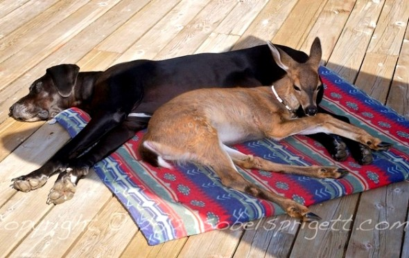 Kate the Great Dane and Pippin the deer regularly meet to frolic and nap together.
