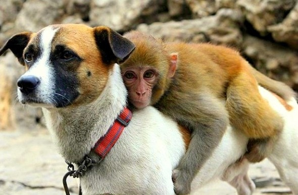 This orphaned monkey was being picked on by other primates at a zoo, so the zookeepers let a dog named Tiger Cup be his bodyguard.