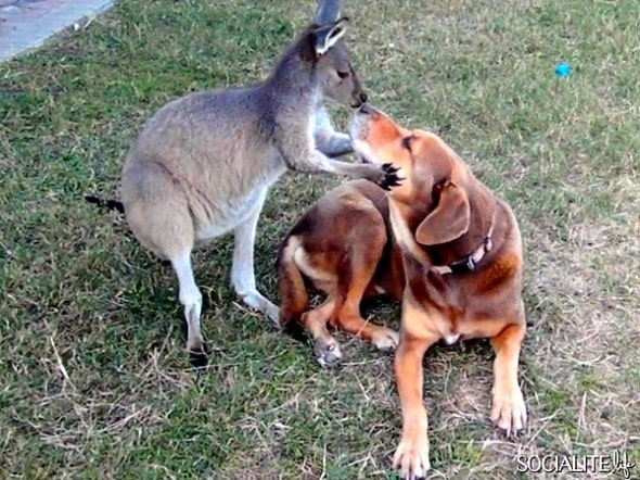 Dozer doesn't mind getting smooches from Love Bug the kangaroo.