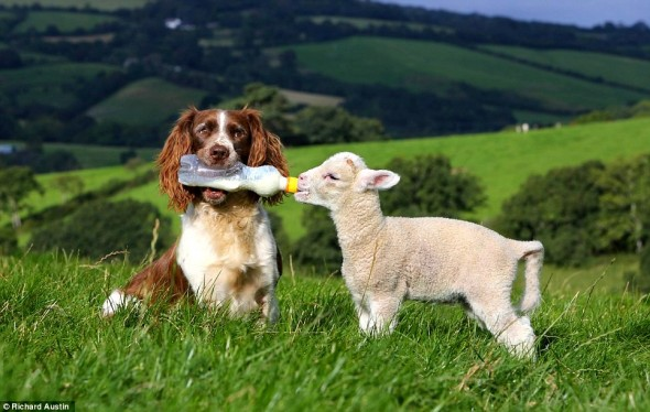 Springer Spaniel Jess is the ultimate sheepdog – she even bottle-feeds them!