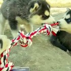 Adorable Husky Puppy Tug-of-War Battle