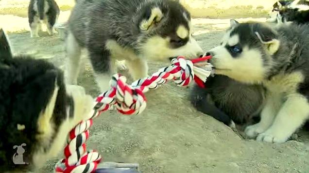 Adorable Husky Puppy Tug-of-War Battle