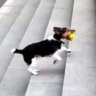 Adorable Pup Plays Fetch by Himself