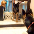 Guard Dog in Training Takes on Suspicious Dog
