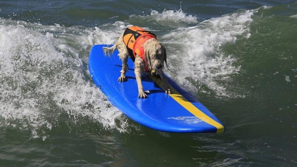 9.30.14 - Doggie Surfing Contest held in Huntington Beach1