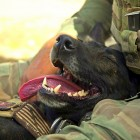 US Abandons Military Dogs Overseas