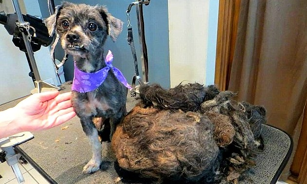UPDATE:  Severely Matted Dog, Ellen, Finds a Home
