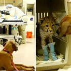Raina the Dog Faithfully Guards Cheetah BFF During Surgery