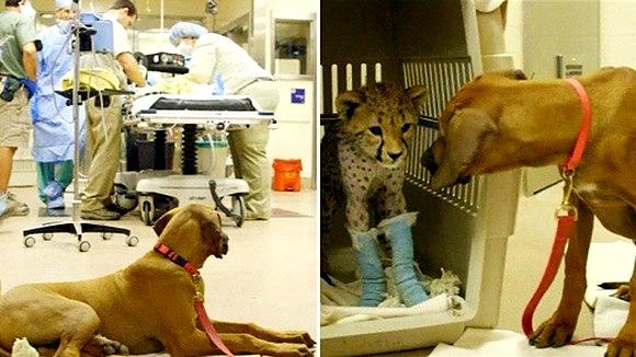 Raina the Dog Faithfully Guards Cheetah BFF During Surgery