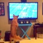 This Golden Retriever LOVES Football!