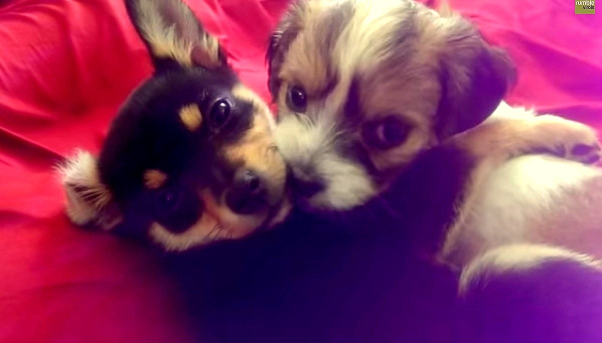 Lovestruck Puppies Can't Keep Their Paws Off Each Other