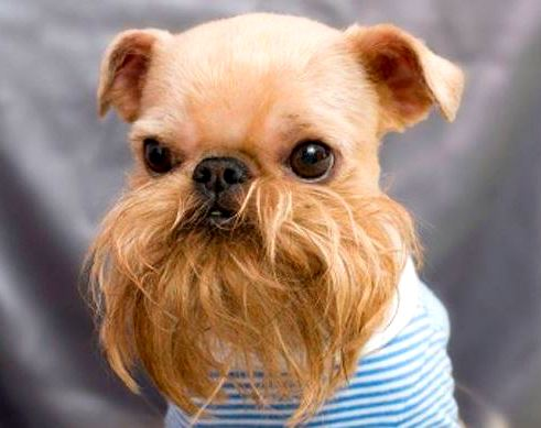 10.10.14 - Dogs with Really Funny Facial Hair4
