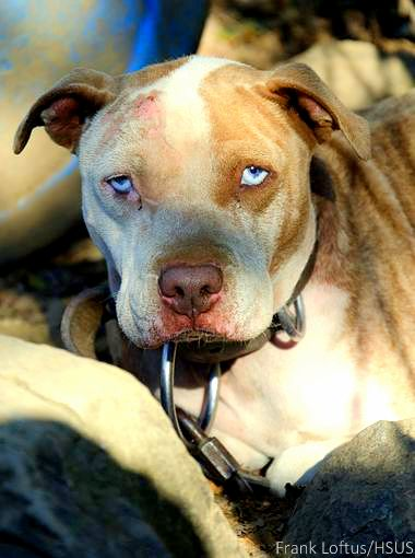 10.23.14 - 50 Dogs Rescued in Fighting Bust2