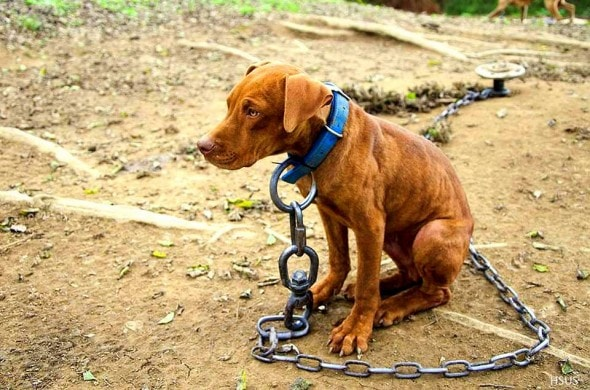 10.23.14 - 50 Dogs Rescued in Fighting Bust3