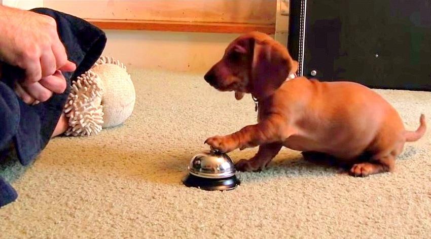 Man Training Puppy Creates Bell-Ringing Monster