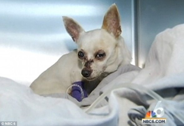 10.26.14 - Dog Used In Voodoo Ritual Rescued From Mangrove in Florida