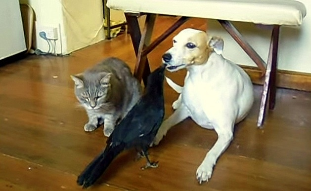 Crow Loves Feeding Her Dog and Cat