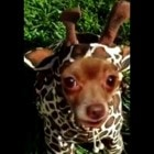 Chica the Giraffe