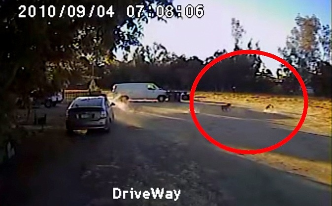 Rottweiler Saves Small Neighbor Dog from Coyote Attack