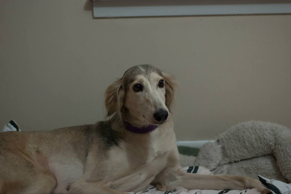Nathalia: Beautiful Abused Saluki Rescued from Qatar Gets Help