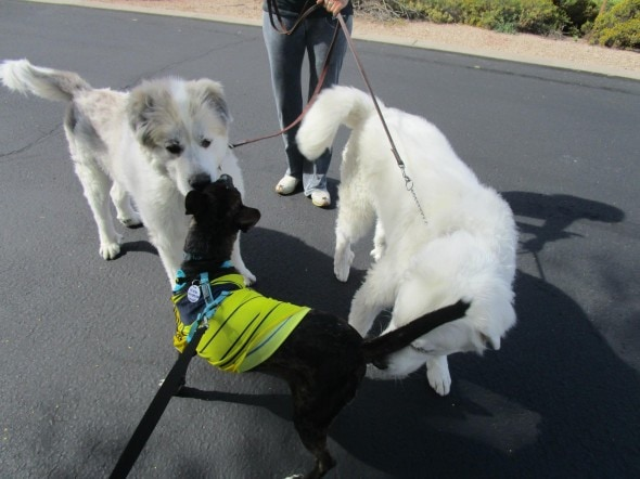 Nikko meets his fur-siblings. Photo Credit: Vanda Hale