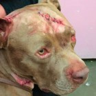 Stabbed Pit bull Needed 1,000 Stitches