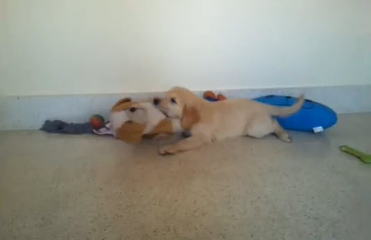 Puppy Plays with Stuffed Toy