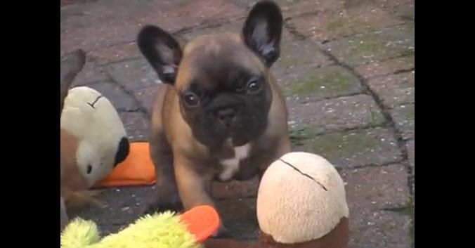 Cuteness Overload – French Bulldog Puppies