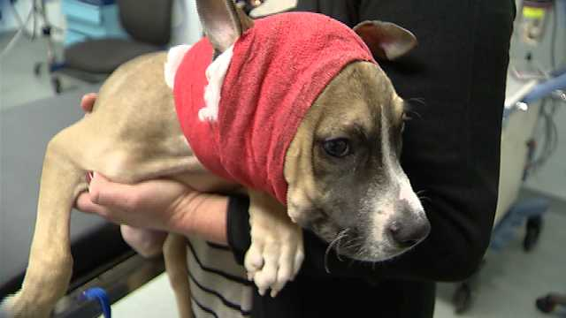Bait Puppy Survives Dog Attack and Fights for His Life