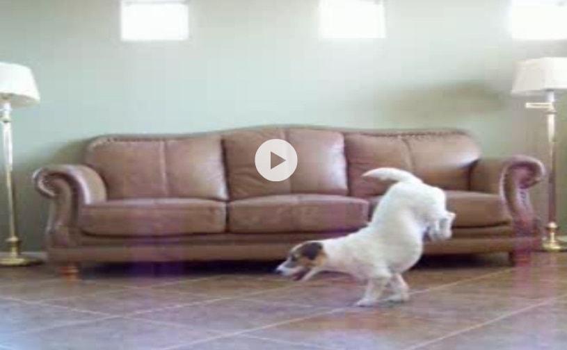 The Handstanding Dog