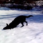 11.13.14 - Hilarious Black Lab Has a Blast Body Sliding in the Snow