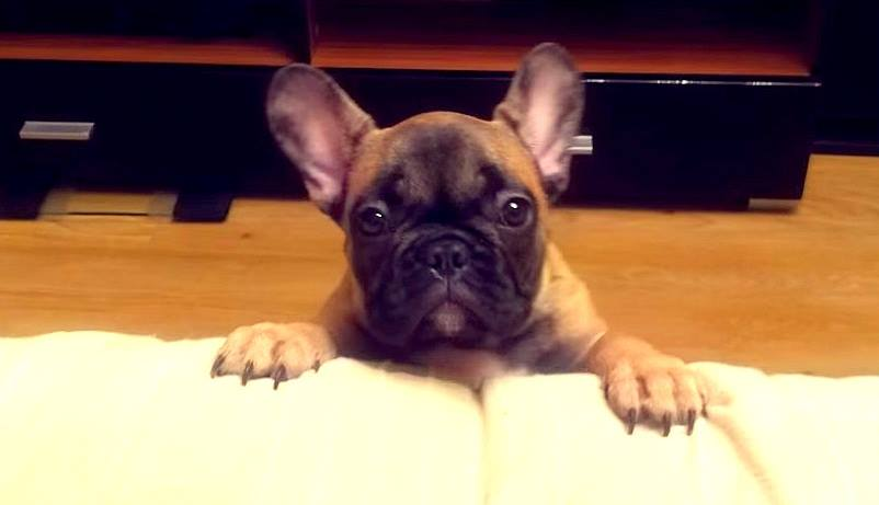 French Bulldog Asks to Be Let on the Bed